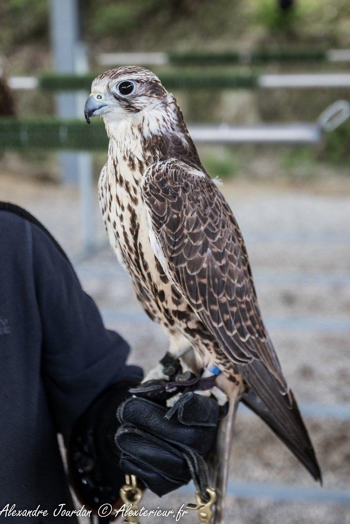 Faucon sacre (Falco cherrug)