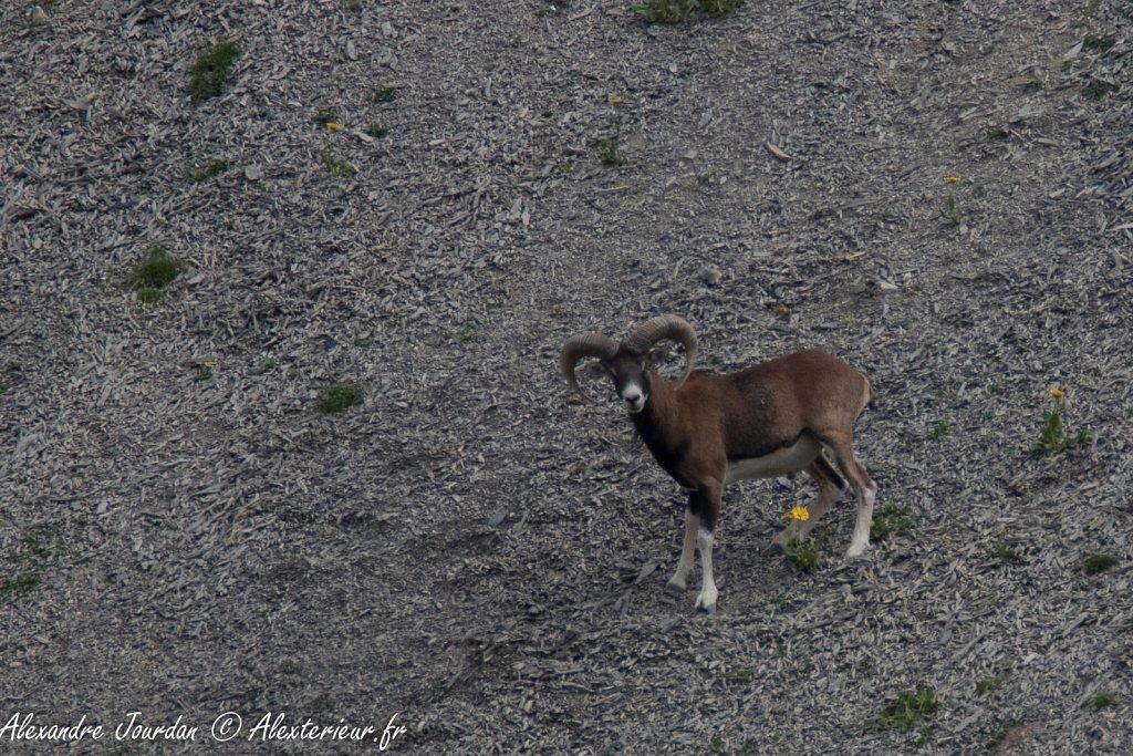 Mouflon méditerranéen (Ovis gmelini)